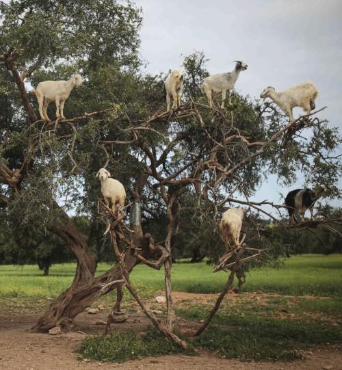 الماعز يهدد تدمير جزيرة مأهولة!