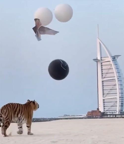 بالفيديو: نمر يكشف عن جنس مولود